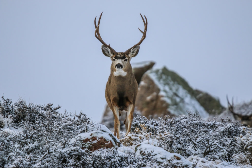 muley pic